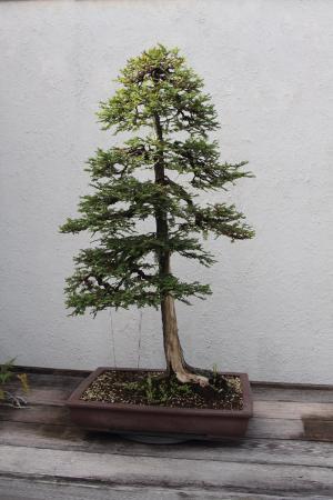 Coastal Redwood As Bonsai Picture Of National Bonsai Penjing Museum Washington Dc Tripadvisor