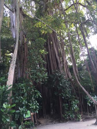 Kuramathi: 300летние дерево