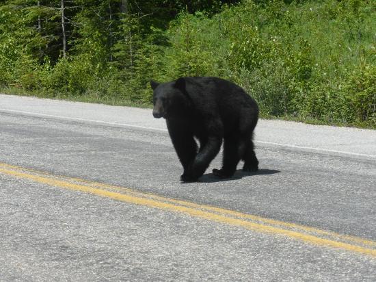 Sunwapta Pass: Watch out for bears