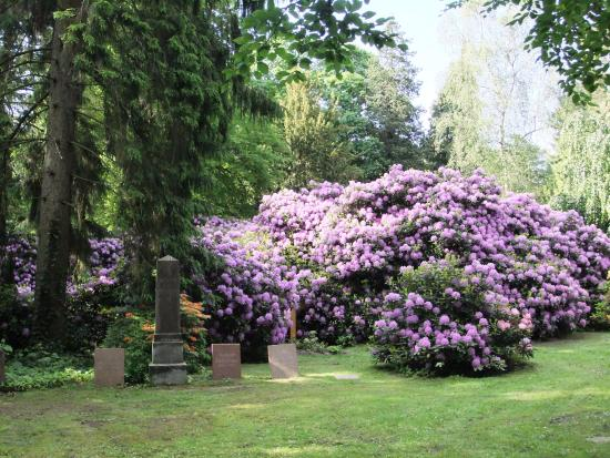 friedhof ohlsdorf in hamburg rhododendron bl te bild von friedhof ohlsdorf hamburg. Black Bedroom Furniture Sets. Home Design Ideas