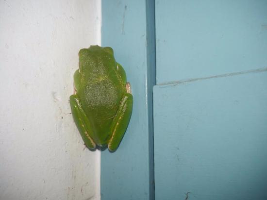 Julatten, Australien: resident bathroom frog!