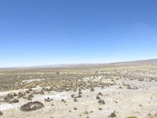 Arequipa Region, Peru: Reserva Salinas Arequipa