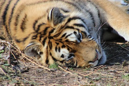Changbaishan Manchurian Tiger Garden: Taking it easy.