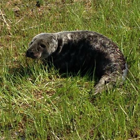Yarmouth Port, MA: Native Cape Codder, a pub seal