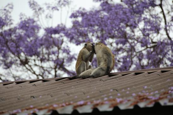 Outpost Lodge: Monkeys on the Roof