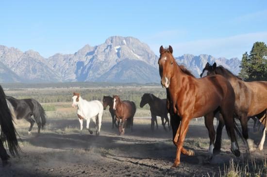Triangle X Ranch : Horses coming in for the AM rides