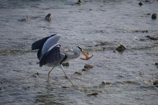 Kuramathi: The Heron feeding every day at sunset in front of our Water villa with Jacuzzi