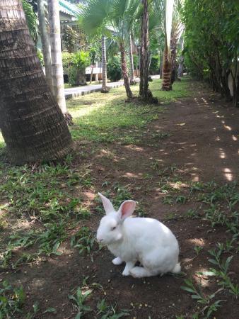 Lamai Inn 99: ручной кролик, живущий на территории отеля