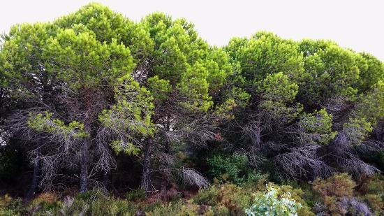 Kythera Hiking: Замечательные сосны Китиры.
