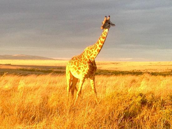 Keekorok Lodge-Sun Africa Hotels: Giraffe at daybreak