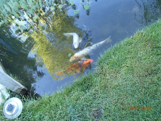 Serendipity Ranch Bed and Breakfast : Koi pond