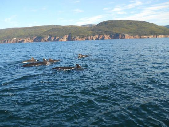 Pilot Whales in Pleasant Bay