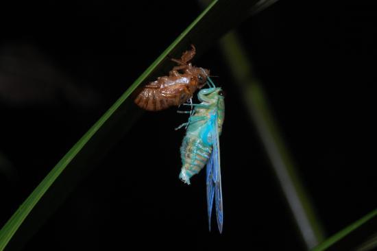 Selva Verde Lodge: Metamorfosis de una langosta, pasan de huevo a ninfa con el aspecto de un adulto pero en pequeño