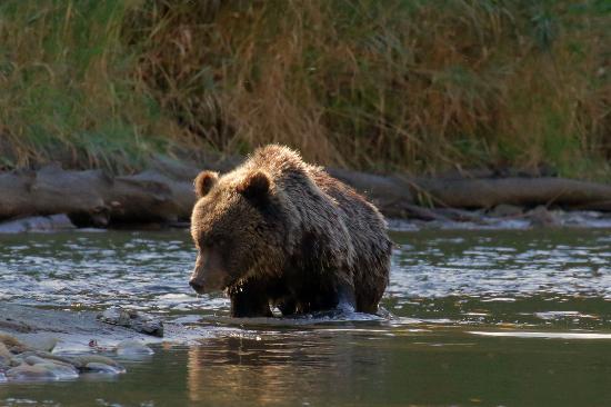 Stuie, Canada: Grizzly Bear Cub
