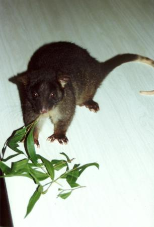 Glenbrook Estate : Rare and Endangered Western Ringtail Possums at Glenbrook