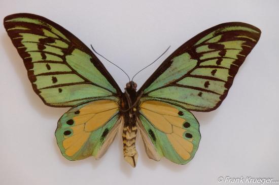 Daintree Entomological museum : Bugs & Butterflies