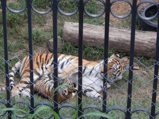 Siberian tiger Salima  Picture of Tbilisi Zoo Tbilisi  TripAdvisor
