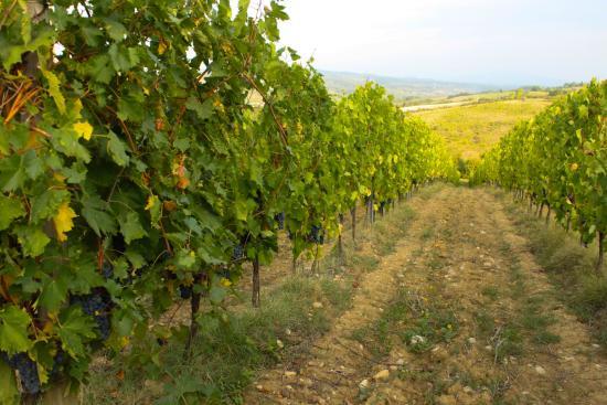 Montespertoli, إيطاليا: a walk through the vineyard