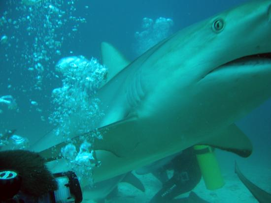 Zatoka Simpson, Sint Maarten: The Shark Dive