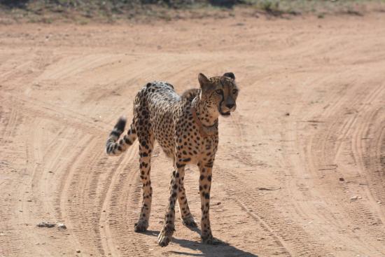 Marula Camp: Female Cheetah