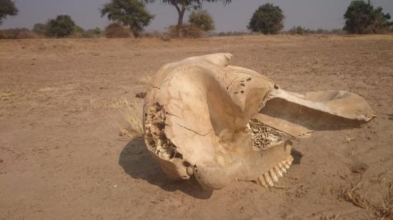 North Luangwa National Park, Zâmbia: Hippo's skull