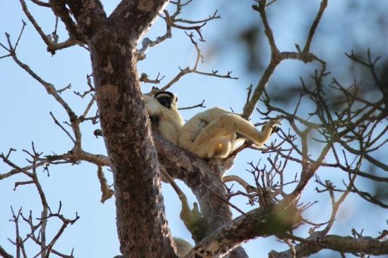 Morondava, Madagascar: Indri