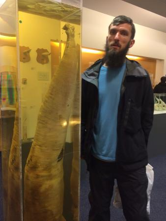 Icelandic Phallological Museum Giant Whale Next To A  Man For Comparison