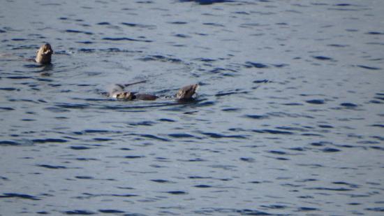 Ardvasar, UK: 3 nutrias marinas antes de desayunar desde el mirador de Morar