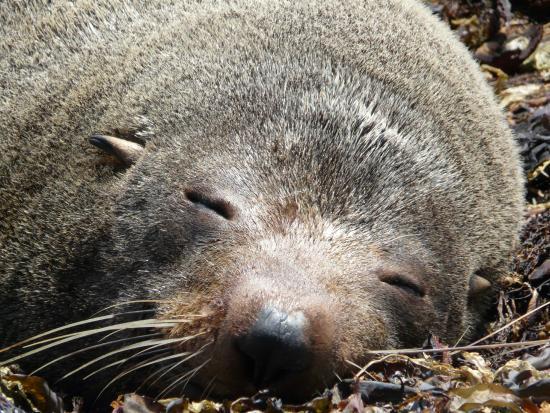 Ecoseaker: NZ Fur Seal having a nap