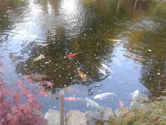 Best Western Pus Scottish Borders Selkirk Philipburn Hotel: Koi carp in the pond in front of hotel