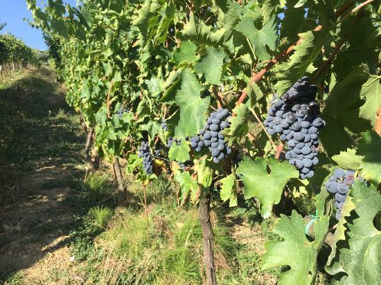 Agriturismo Piaggione di Serravalle: grapes