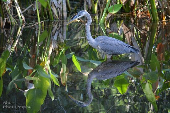 Great Egret On Prowl >> Great Blue Heron On The Prowl Picture Of Shurr Adventures