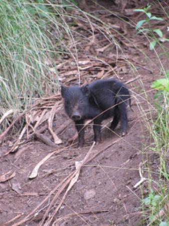 Awaawapuhi Trail Wild Baby Pig