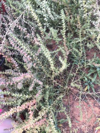 Zion RV and Campground : spiny weeds for tent pitching