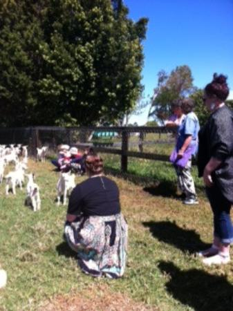 Lower Beechmont, Australia: Friendly baby goats