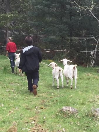 Judbury, Avustralya: No, they aren't dogs, they are our goat friends.