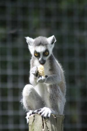 Axe Valley Wildlife Park: Baby Ring tail