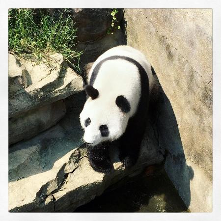 Ningbo Zoo: Panda