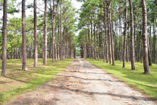 Bo Kaeo Pine Tree Garden: แนวต้นสน