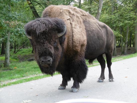 les bisons nous ont barr la route pendant un petit moment picture of parc zoologique et. Black Bedroom Furniture Sets. Home Design Ideas
