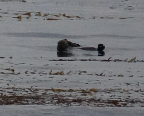 Sea Breeze Inn & Cottages: Sea otters