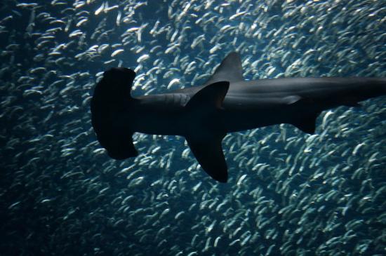 Jaws Picture Of Monterey Bay Aquarium Monterey