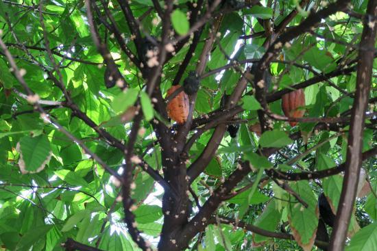 Foto de Fairchild Tropical Botanic Garden, Coral Gables: Chocolate