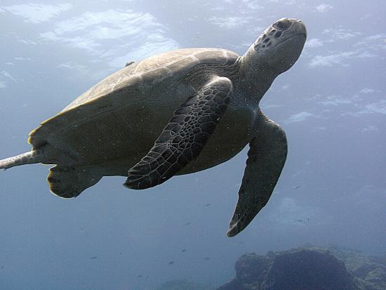 bahía de Simpson, St. Maarten: Sea turtle