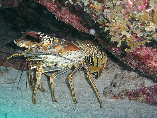 bahía de Simpson, St. Maarten: Lobster