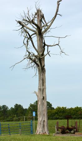 Historic Rural Hill Farm: Dead Cedar #1