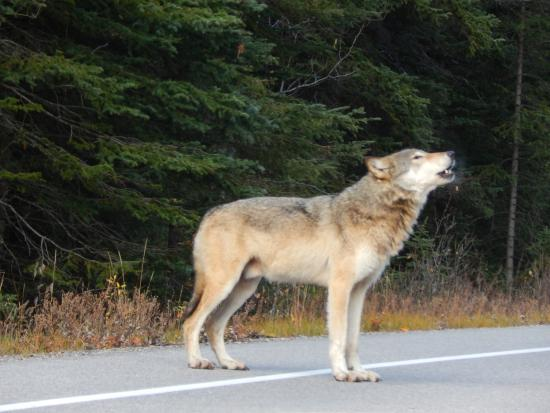 Bow Valley Parkway: male wolf howling right in front of our car