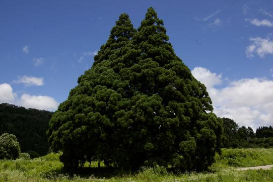 Tall Cedar Tree in Kosugi