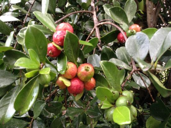Keaau, Hawái: Strawberry Guava on of Beach Road