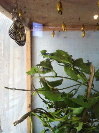 Butterfly Sanctuary at Mambukal Resort : One of the cages